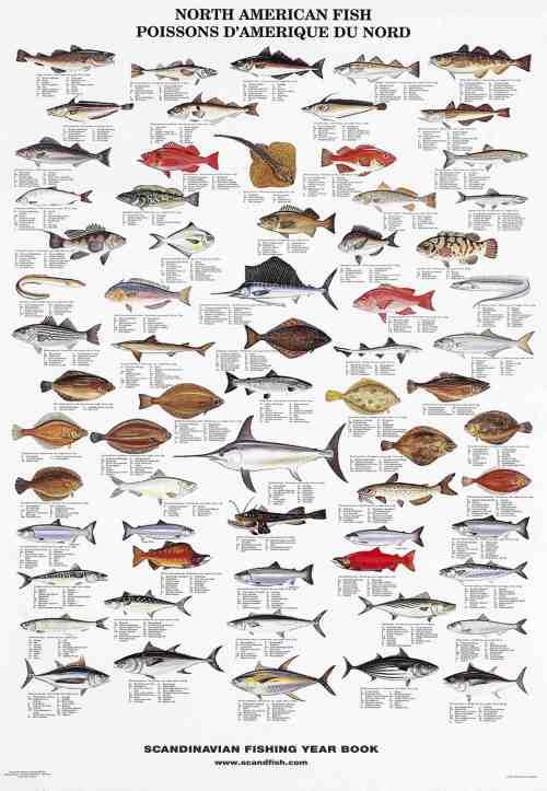Seashells of edible species la tene maps for Types of edible fish