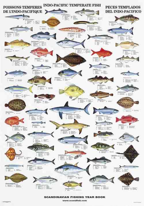 Seashells of edible species la tene maps for Names of fish to eat